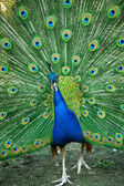 Spread of a peacock — Stock Photo