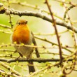 Robin sitting on a branch - Stock Photo