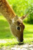 Pár closeup antilopy nyala — Stock fotografie
