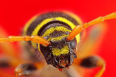 Macro extrême de beetle plagionotus arcuatus — Photo