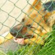 Sad and tired dog German shepherd encaged looking through the fe — Stock Photo