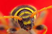 甲壳虫 plagionotus arcuatus 极端宏上红 — 图库照片