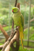 Green parrot with red beak — Stock Photo
