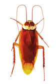 Cockroach top view isolated on white — Stock Photo