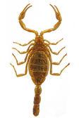 Scorpion - Hottentotta on white background — Stock Photo