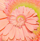 Gerber flower infinity spiral abstract background. Fibonacci. — Stock Photo