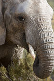 Elephant head shot, South Africa. — Stock Photo