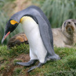 King Penguin walks past Antarctic fur seal, South Georgia Island. — Stock Photo
