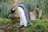 King Penguin walks past Antarctic fur seal, South Georgia Island. — Stok fotoğraf