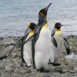 3 King Penguins walking up the beach, South Georgia — Stock Photo