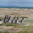 Royalty-Free Stock Photo: Magellan Penguins run for the beach, Punta Arenas, Chile