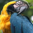 Sleeping parrot, Guayaquil, Ecuador - Stock Photo