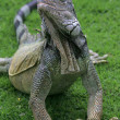 Iguana on the grass, Guayaquil, Ecuador - Stock Photo