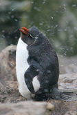Rock hopper Penguin stands in a hail storm, Falkland Islands — Stockfoto