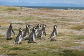 Magellan Penguins run for the beach, Punta Arenas, Chile — Stok fotoğraf
