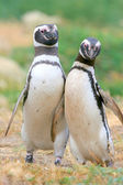 Magellan penguins collide, Punta Arenas, Chile — ストック写真