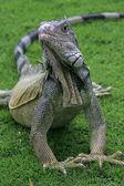 Iguana on the grass, Guayaquil, Ecuador — Stock Photo
