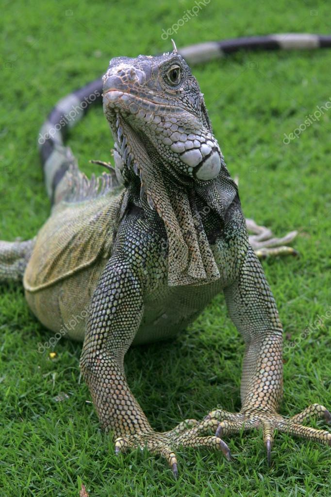Iguana on the grass with raised fore legs &amp; looking forward, Guayaquil, Ecuador  Stock Photo #14443735