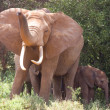 Stock Photo: African Elelphant raising Trunk with young, Kenya