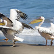 Three pelicans take off from beach, Sandwich Harbour, Namibia — Stock Photo #14621843
