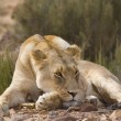 Female Lion sunbathes in afternoon sun, South Africa — Stock Photo
