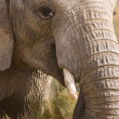 African elephant head shot feeding, South Africa — Stock Photo
