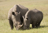 White Rhino Mother & Baby, South Africa — Stock Photo
