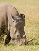 White Rhino grazes, South Africa — Stock Photo
