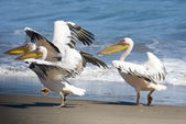 Three pelicans take off from beach, Sandwich Harbour, Namibia — Stock Photo