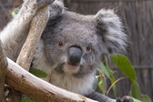 Koala looking from the branches, Australia — Stock Photo