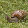 Snail in the grass — Stock Photo #17684917