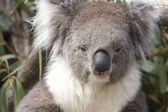 Koala sits in the Eucalyptus, Australia — Stockfoto