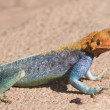 East African Rainbow Lizard, Tsavo National Park, Kenya, Africa — Stock Photo