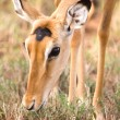 Impala head shot with beautiful eyes, Kenya, Africa — Stock Photo #37189483