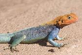 East African Rainbow Lizard, Tsavo National Park, Kenya, Africa — Stock Photo