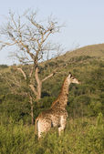 Giraffe in the Evening Sun, South Africa — Stock Photo