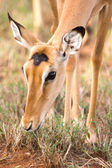 Impala head shot with beautiful eyes, Kenya, Africa — Stock Photo