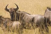 Wild antelope watches through the grassland — Foto de Stock