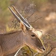 Antelope Head shot with sunlight along antlers, South Africa — Stock Photo #37222253