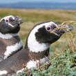 Pair of Magellan penguins in their nest, Punta Arenas, Chile — Stock Photo