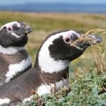 Pair of Magellan penguins in their nest, Punta Arenas, Chile — Stock Photo