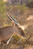 Antelope Head shot with sunlight along antlers, South Africa — Stock Photo