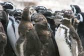 Group of young magellan penguins, Falkland Islands — Foto de Stock
