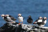 Flock of Puffins standing on a rock, Iceland — Stock Photo