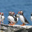 Stock Photo: Flock of puffins stand on a rock, Iceland