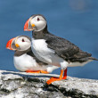 Stock Photo: Pair of puffins standing on a rock, Iceland