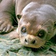 Giant Otter, Amazon, Brazil — Stock Photo