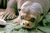 Giant Otter, Amazon, Brazil — Stock Photo