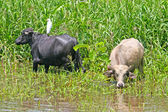 Cattle graze by the banks of the Amazon, Brazil — Stock Photo