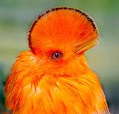 Male Guyanian Cock of the Rock — 图库照片